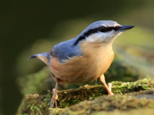 The Nuthatch can be seen on many wildlife walks, but only if you know what you are looking for.