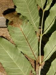 Leaf detail of Ash Dieback Disease. Ash leaves become brown and start to die away.
