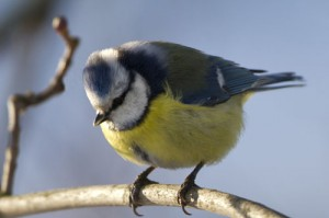 The blue 'cap' on the top of the head is the easiest way to tell a blue tit apart from it's close relatives.