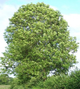 The mighty Common Ash tree, picture from Tree Pictures Online.