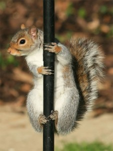 The Grey Squirrel - one of our most infamous invasive species.