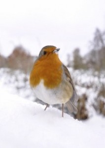Both male and female robins have a red-orange breast all year long.