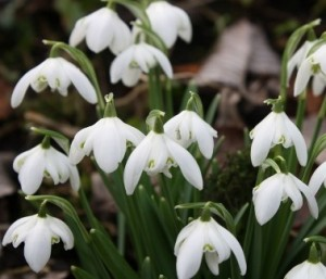 Snowdrops grow from large bulbs underground, forming small clumps of white flowers.