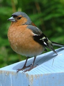 The male chaffinch's call starts high and trickles down to the bottom of the scale. As the second most common British bird in 2013, this would be a great call to learn first.