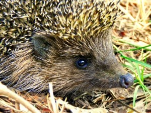 Hedgehogs hibernate from August to Spring, but warm winter weather can cause them to wake up too early.