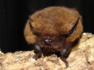 Pipistrelle Bats are one of the most commonly seen in Britain.