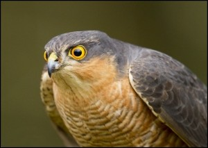 Sparrowhawks will venture into gardens more in winter whilst on the hunt for their prey - smaller birds.