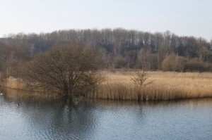 Winter wetlands in Britain. This is a large reedbed - brilliant for birds.