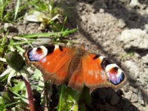 Butterfly numbers suffered from the harsh weather last year and have been at risk from getting caught out in the cold this spring.