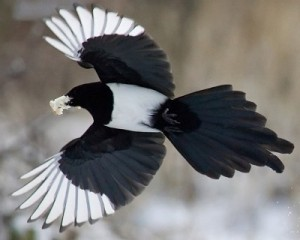 In winter, magpies form large flocks to look for food.