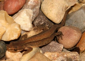 Using a torch at night, you might be able to catch a glimpse of newts swimming through the reeds in British waters.