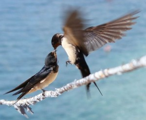 Barn Swallows have blue backs, red throats and two long tail feathers.
