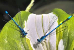 Watch out for small damselflies that hover around the edges of the water.