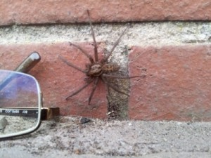 They may be creepy, but the Giant House Spiders are a brilliant opportunity to look at how a spider functions.