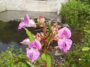 The flowers of Himalayan Balsam look beautiful, but don't be tricked by it's good looks!
