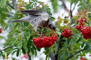 Rowans are also called the 'Bird Catcher Tree' because birds, such as this migrating Fieldfare, love the berries it produces.