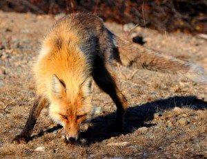 Foxes are a common sight in big cities, but how do they survive?