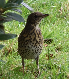 Mistle and Song Thrushes have cream stomachs with many brown speckles covering it.