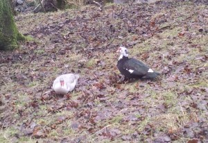 The feral Muscovy duck can be seen infrequently across the country.
