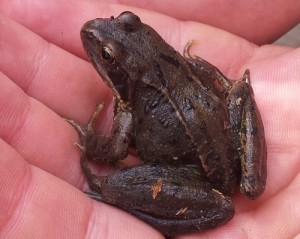 Frogs should be emerging from hibernation in February.