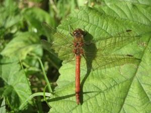 THe Common Darter is a common dragonfly species in the UK.