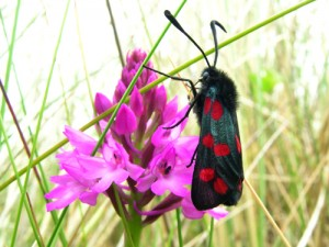 Moths often have large 'clubbed' antennae, such as this Burnet Moth.