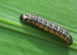 The Dingy Flat Body Moth Caterpillar can be seen in wetland habitats, such as along canal towpaths.