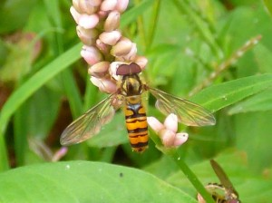 The Marmalade Hoverfly is one of the most common to be spotted in the garden.