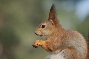 Ear tufts are one way of separating Red Squirrels from Grey Squirrels.