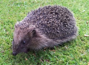 Daytime hedgehogs are often suffering.
