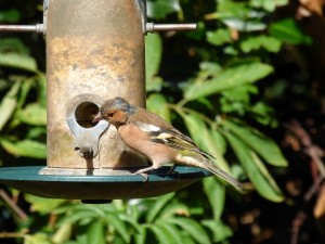 The male Chaffinch is one of the gardens most stunning birds.