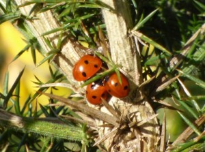 Three 7 Spotted Ladybirds pushing for the best spot!