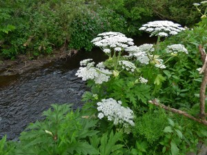 Giant Hogweed is usually found by rivers and canals