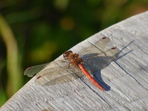 The Common Darter has a bright red body in the male and moves quickly through the air.