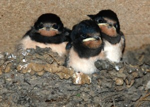 Three young swallows in the nest.