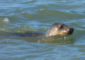 Grey Seals can be seen cruising through the waters on calm days.
