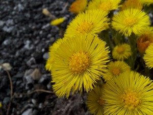 Coltsfoot is a member of the daisy family