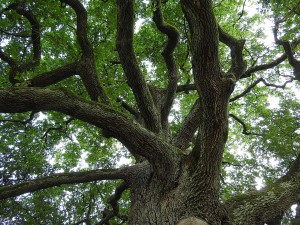 In spring, oaks are a hive of activity.