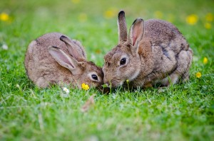 Rabbits have to have good communication to avoid predators.