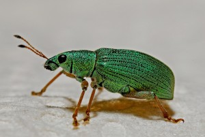 Weevils come in all shapes and sizes