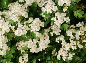 Hawthorn blossom traditionally appears in May, but is more frequently seen in April recently.
