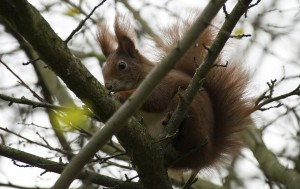 Red Squirrels are a rare sight in England, but this may be changing.